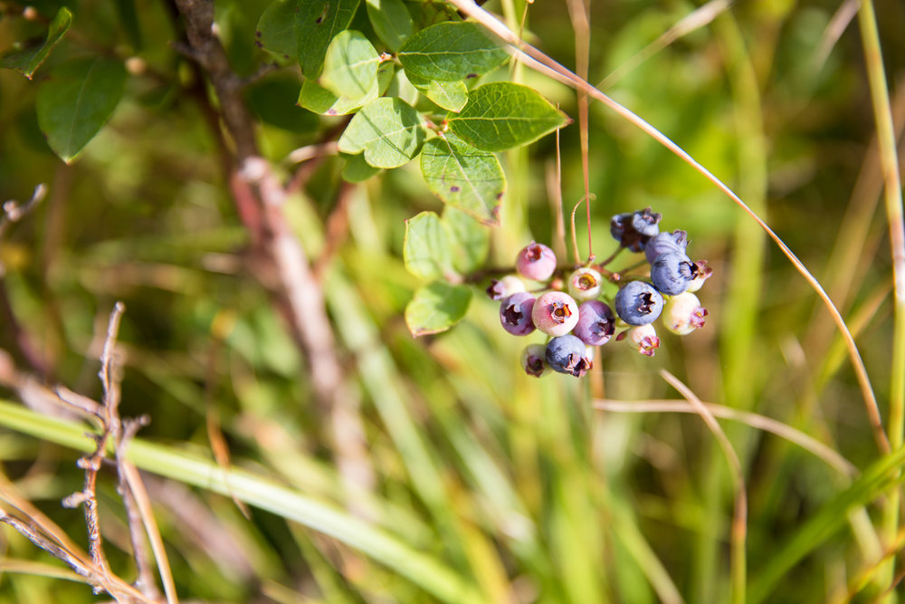 Blueberries along the trail