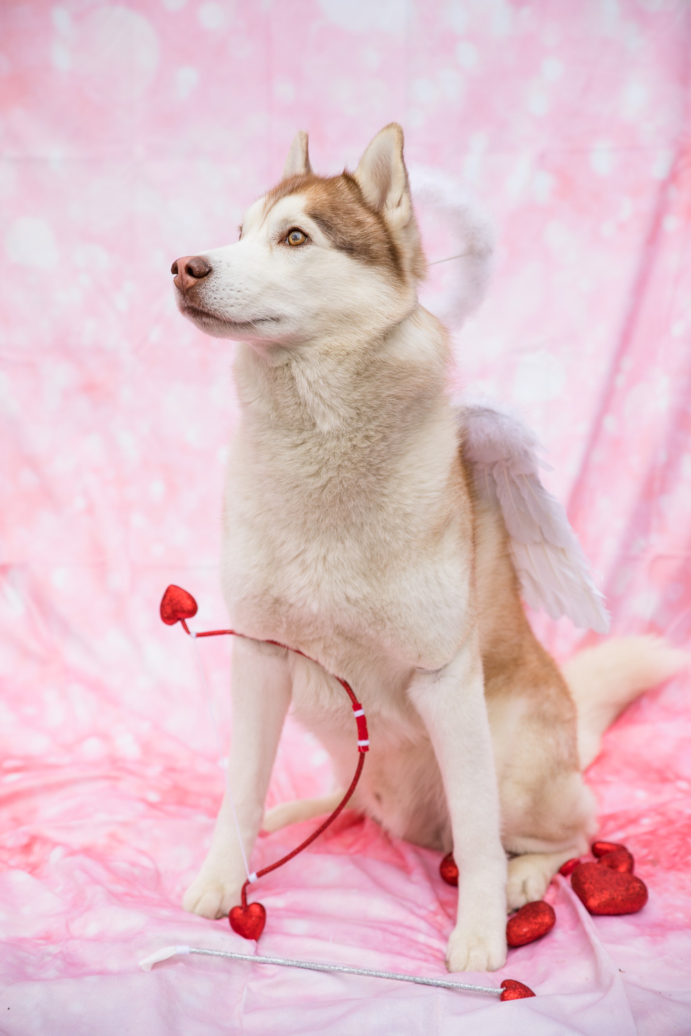 Cupid dog! I had quite a few lessons learned with this first styled monthly goals shoot with Ryder (I should probably bathe and comb him before shoots #badliz, his front legs are stacked awkwardly wide, the backdrop needed to be washed and/or ironed and then clipped and taped smooth, etc.), but hey, it's still a cute start. Got any fun seasonal props lying around? I'm definitely looking for cute things for future months!