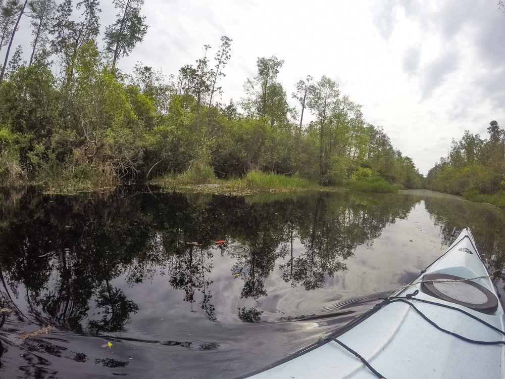 Alligator in Okefenokee swamp
