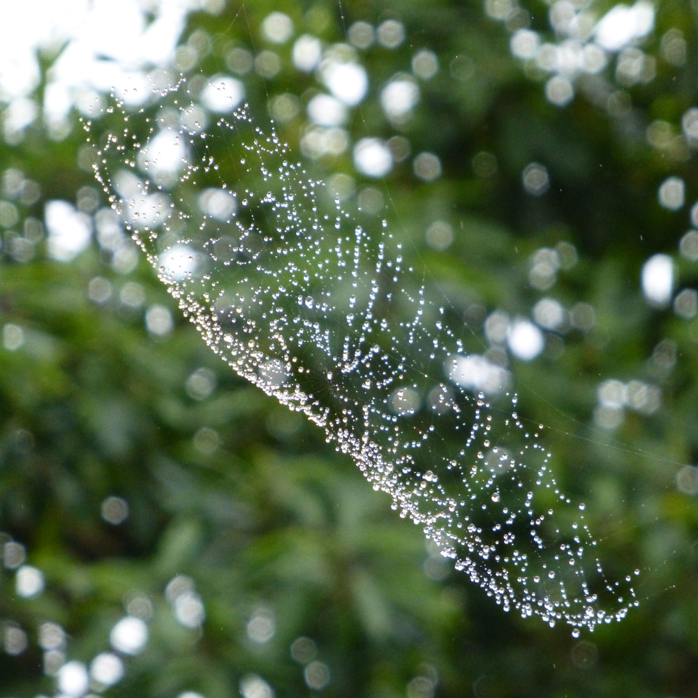 A dew adorned spiders web spotted in the garden this morning.