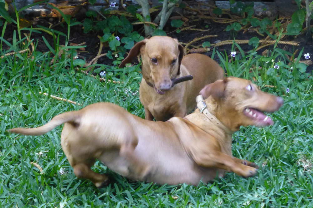 The dachshunds at play