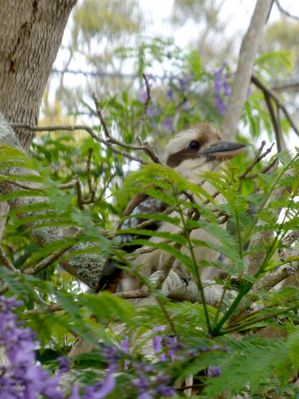 A visiting Kookaburra