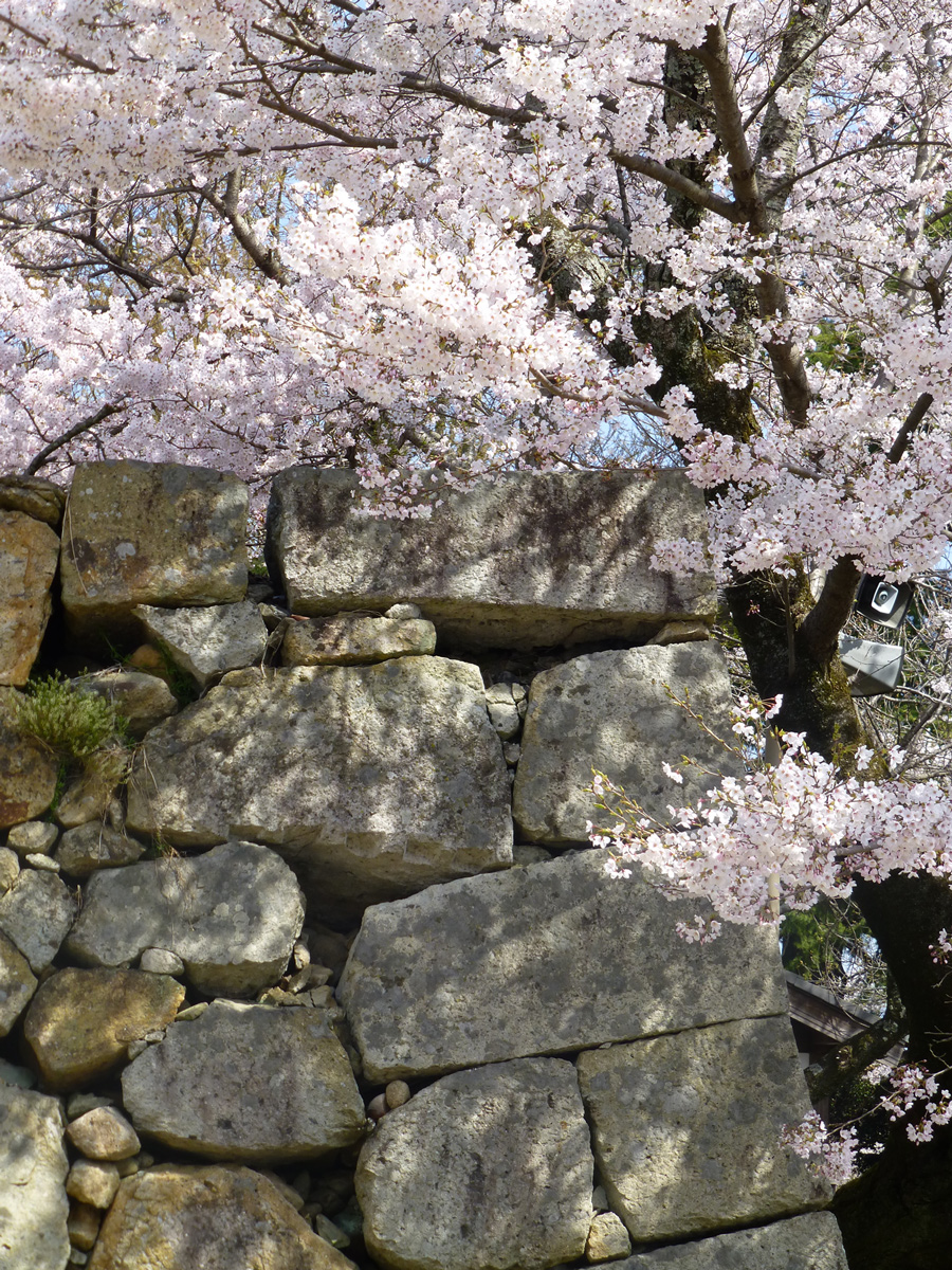 Sakura & castle walls