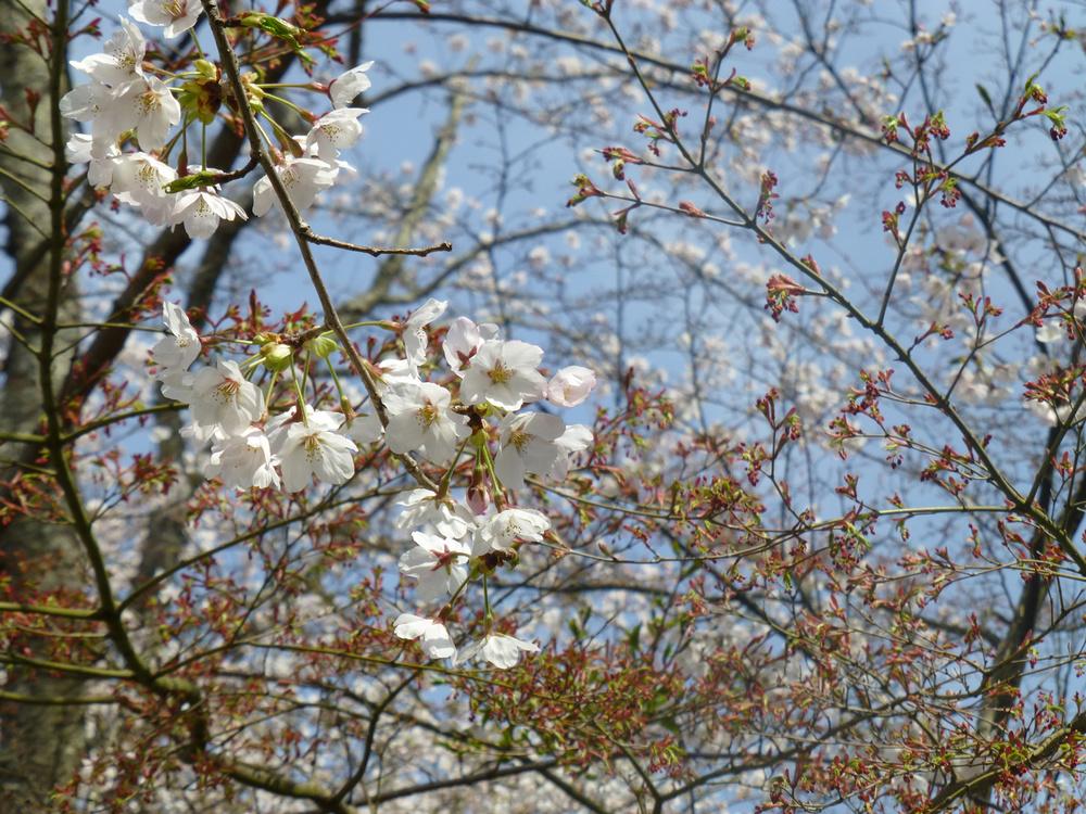 tsuyama-hanami11.jpg