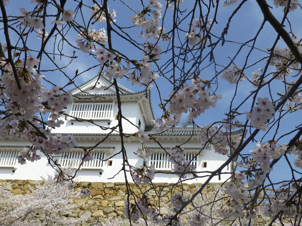 Partial reconstruction of Tsuyama Castle - viewed through sakura.