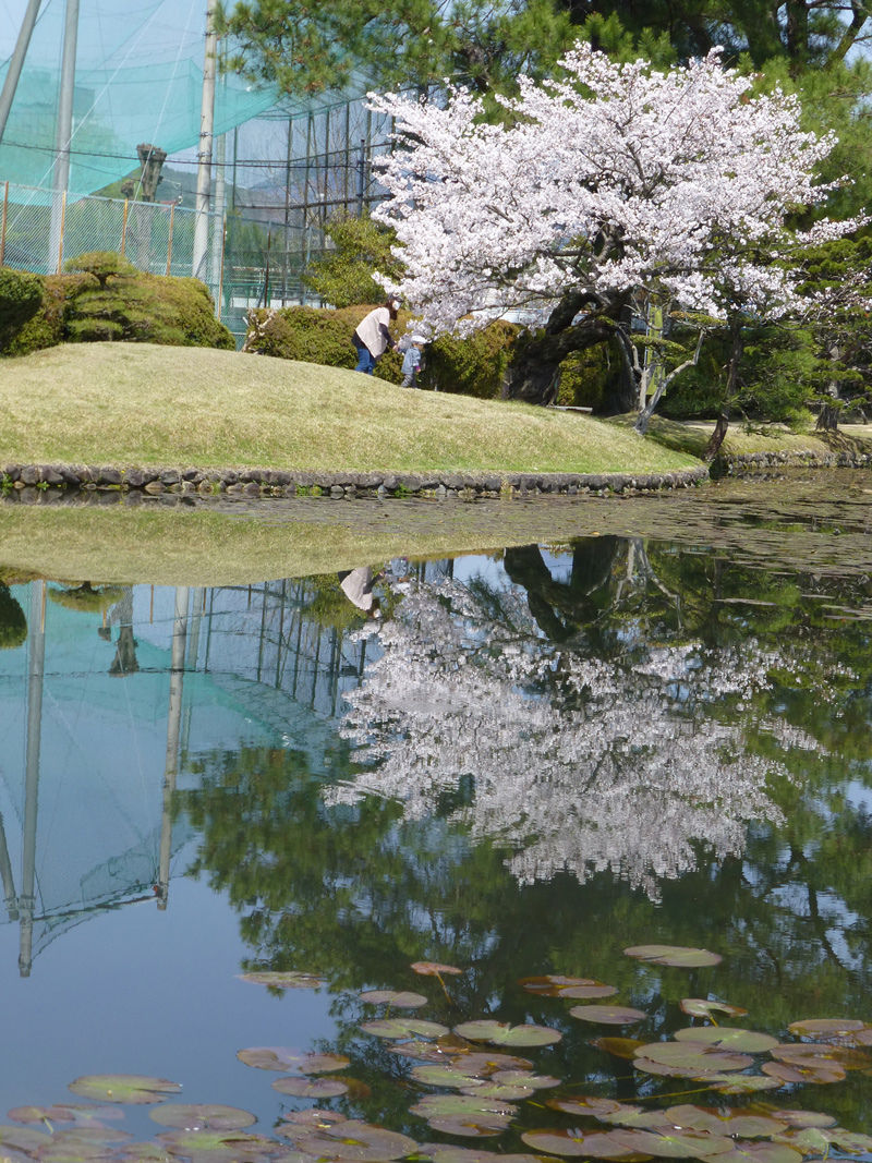 The baseball courts next to the garden, alongside the cherry tree, make an interesting reflection upon the pond surface