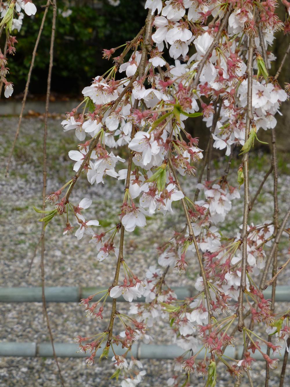Tsuyama-walk-cherrytemple2.jpg