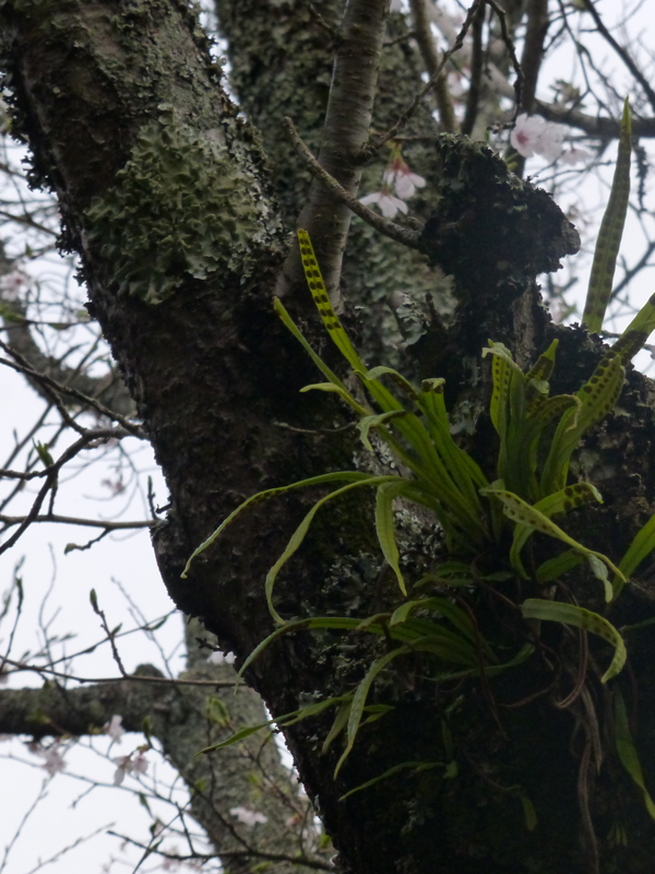 Lichens and plants growing on the trunk of a sakura