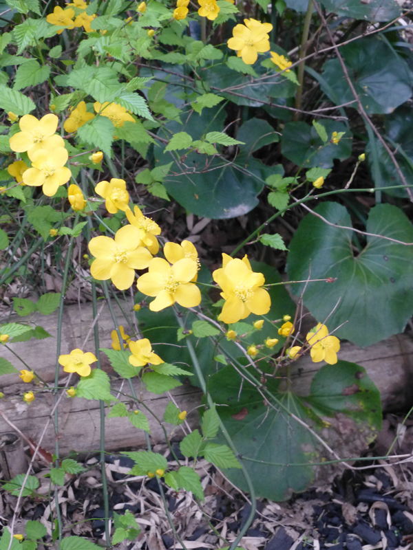 Small yellow flowers growing in the Ryokan garden
