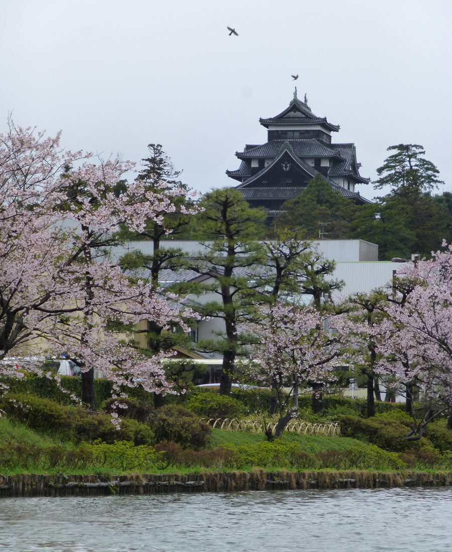 Matsue Castle in full sakura bloom as viewed from the Canal.