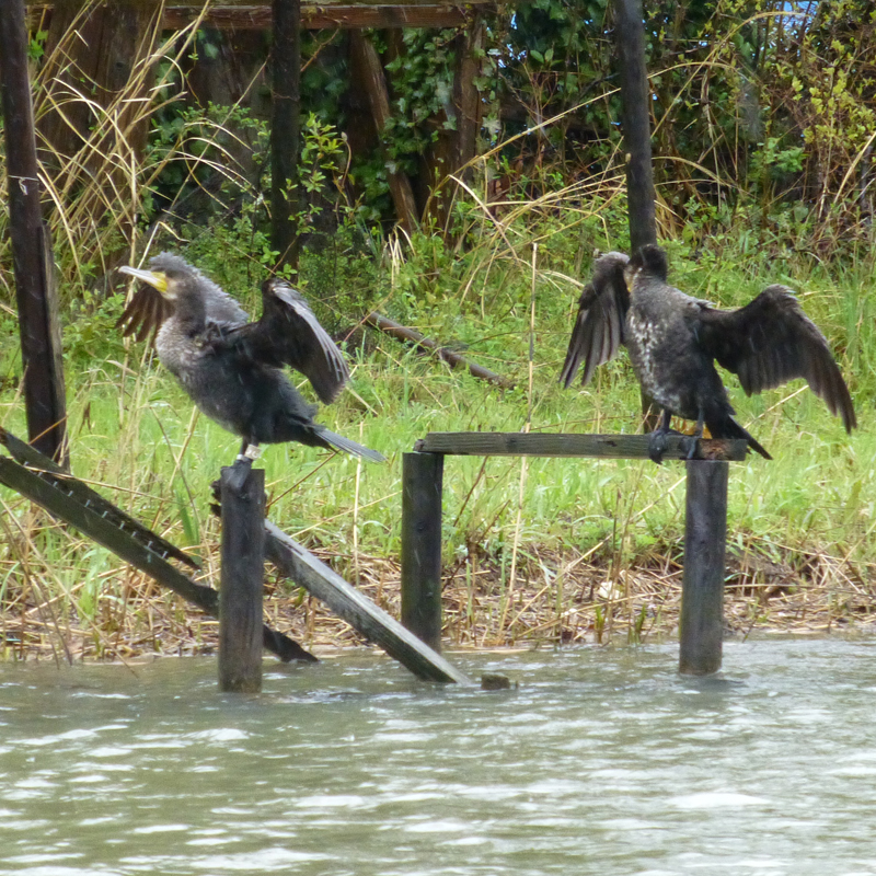 The black cormorants of Matsue
