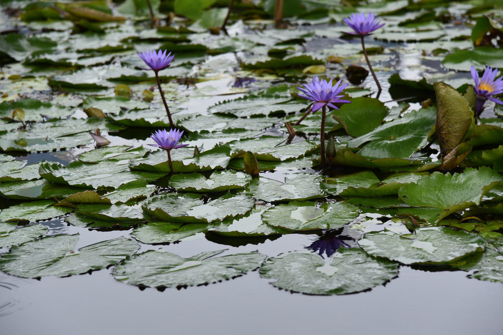 The beautiful tranquil water-lily pond beneath the lotus-shaped Art and Science Museum.