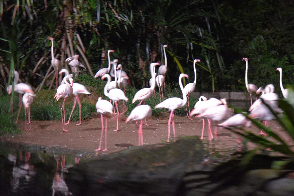 Flocks of flamingoes