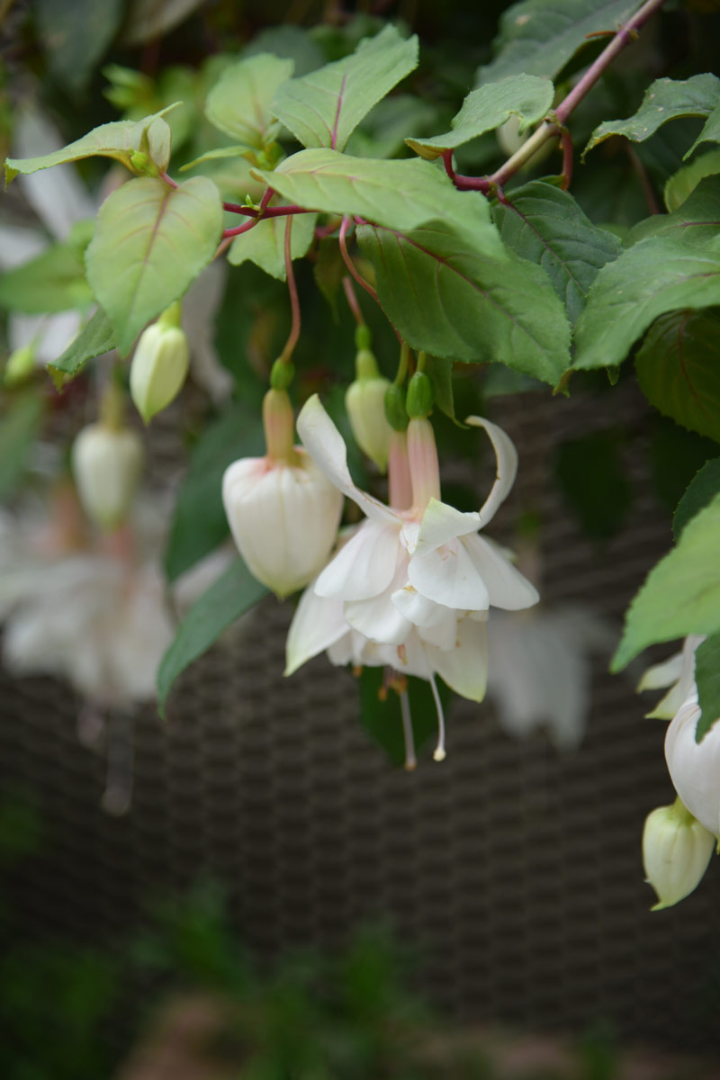 How beautiful is this creamy white fuchsia - they are more commonly seen in their bright colours but I love the gentle tones of this particular specimen