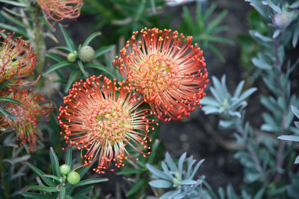 These Fireworks Proteas are beautiful.
