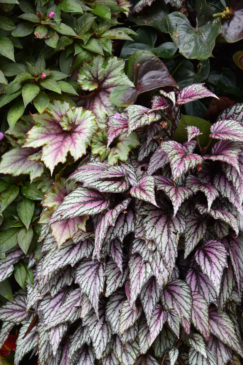 I love how these leaves cascade over each other in layers of ruffled variegated beauty.