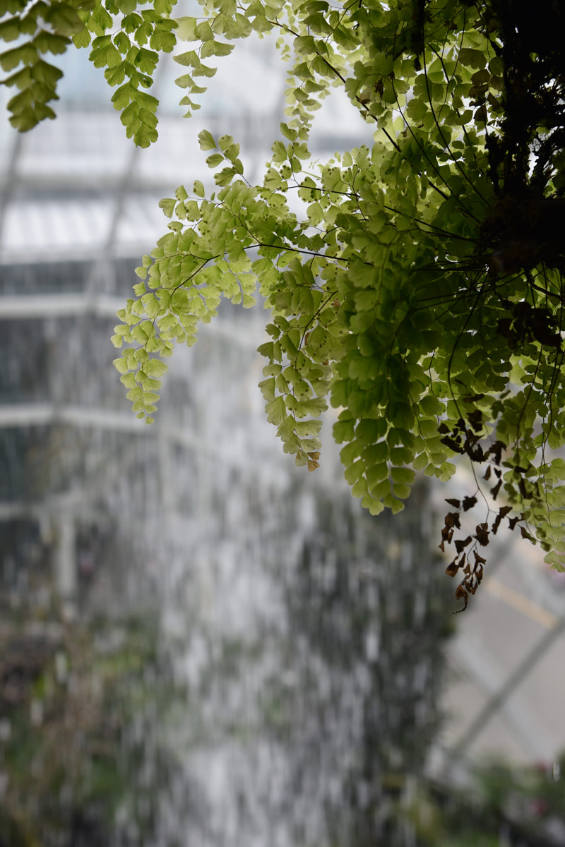 Soft delicate fern leaves hang infront of a backdrop of falling water.