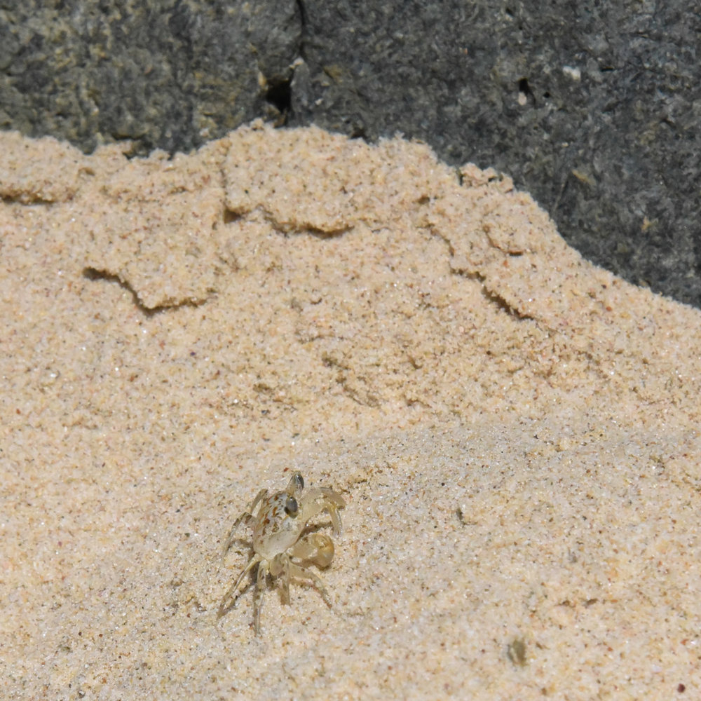 An elusive sand crab scuttling away