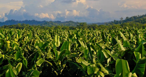 banana field cropped.jpg