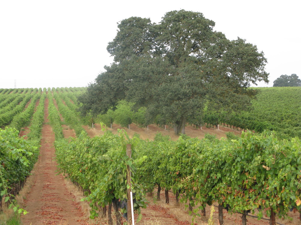 Terra Alta Vineyard, Lodi