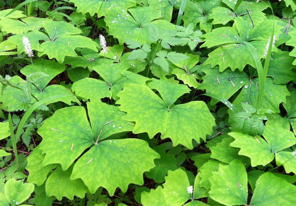 Marquam Nature Park Maple Leaves