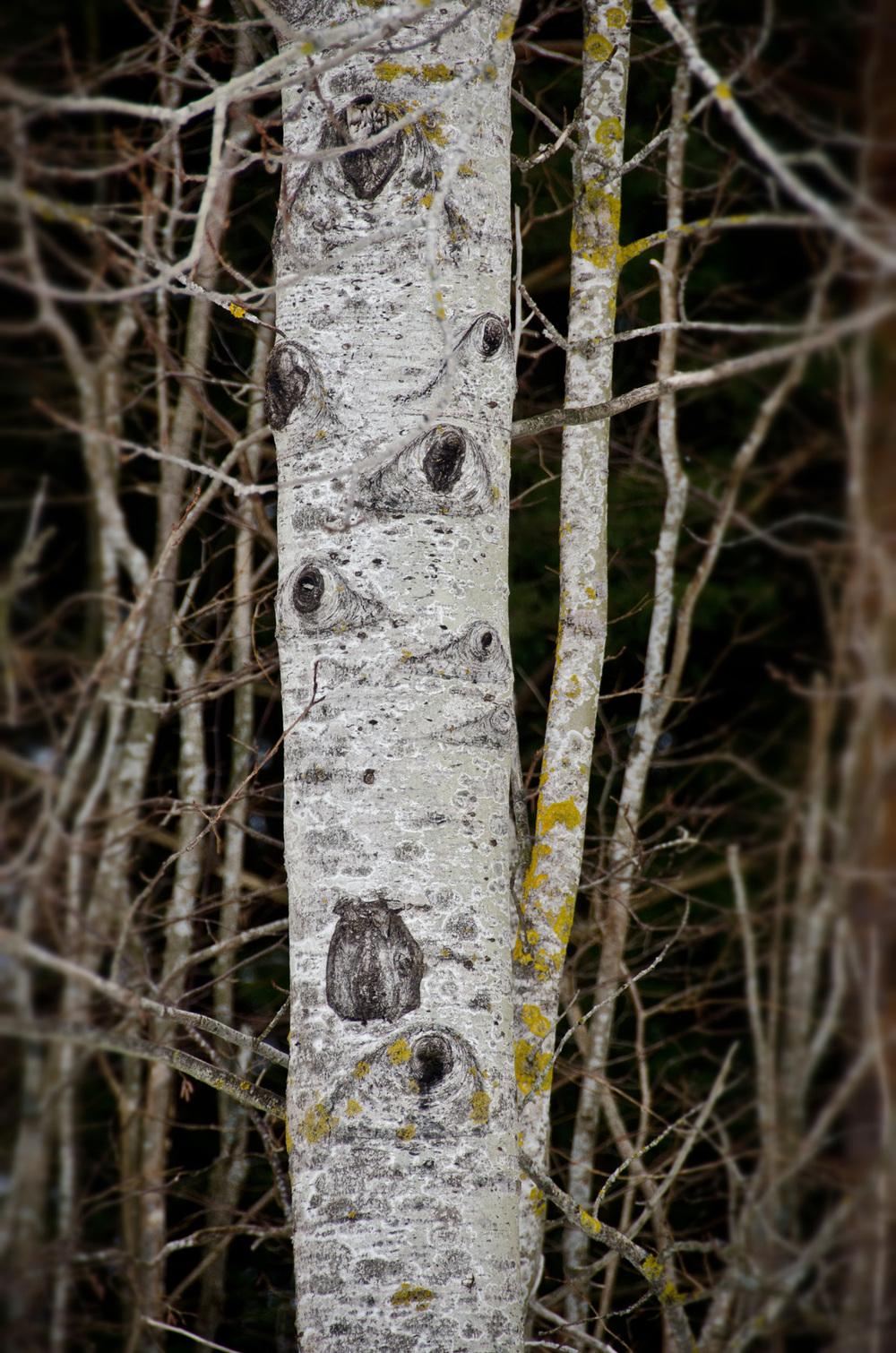 Alder tree - Nauvo Archipelago, Finland