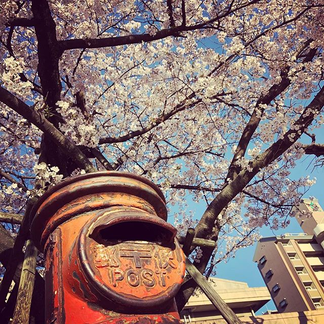 Returned to Fukuoka just in time to find the cherry blossoms at their best.  #福岡市 #Fukuoka #FukuokaSpring #Sakura #桜🌸 #Hanami #花見 #満開 #ポスト📮 #Mailbox