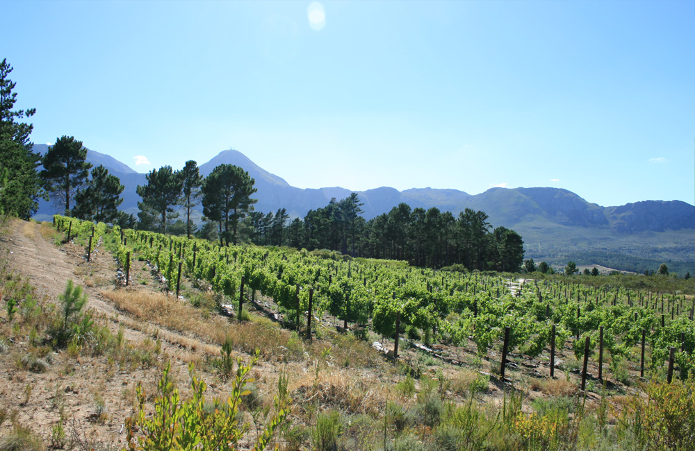 Lower block – Shiraz. Facing the Hottentot Holland Mountains