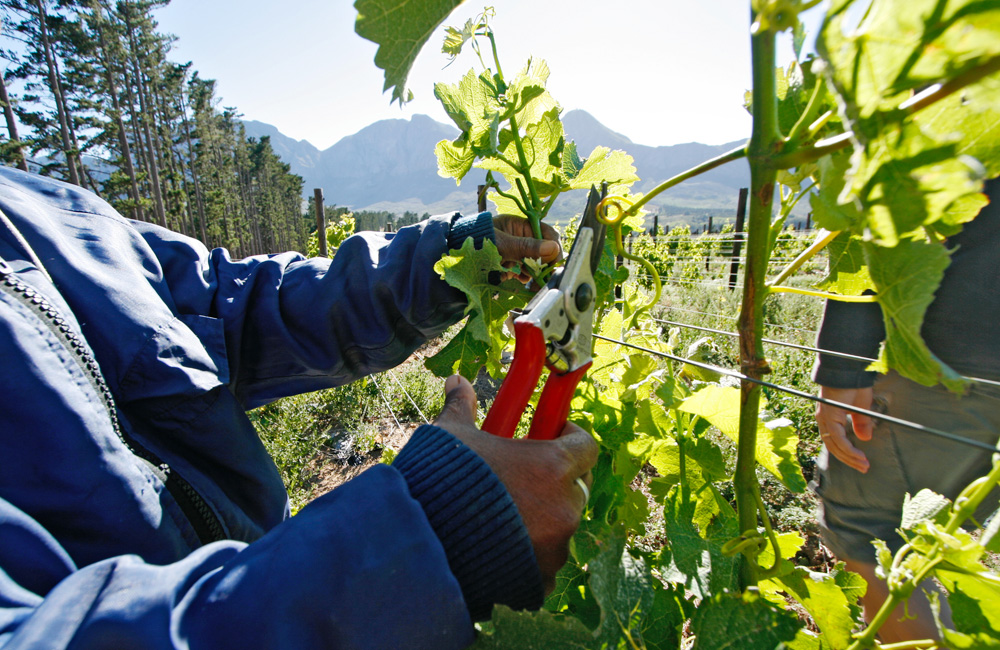 Pruning the Sauvignon Blanc vines