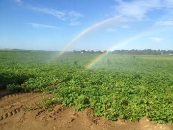 potato field rainbows.jpg