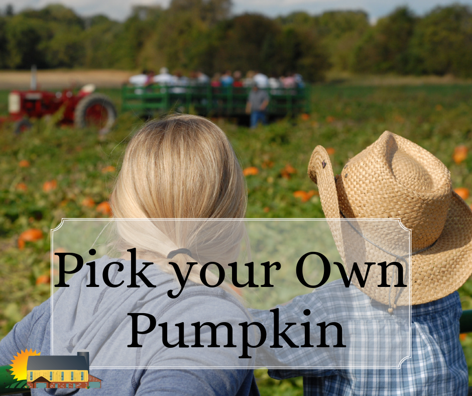 Pick your pumpkin right off the vine at Country Barn!