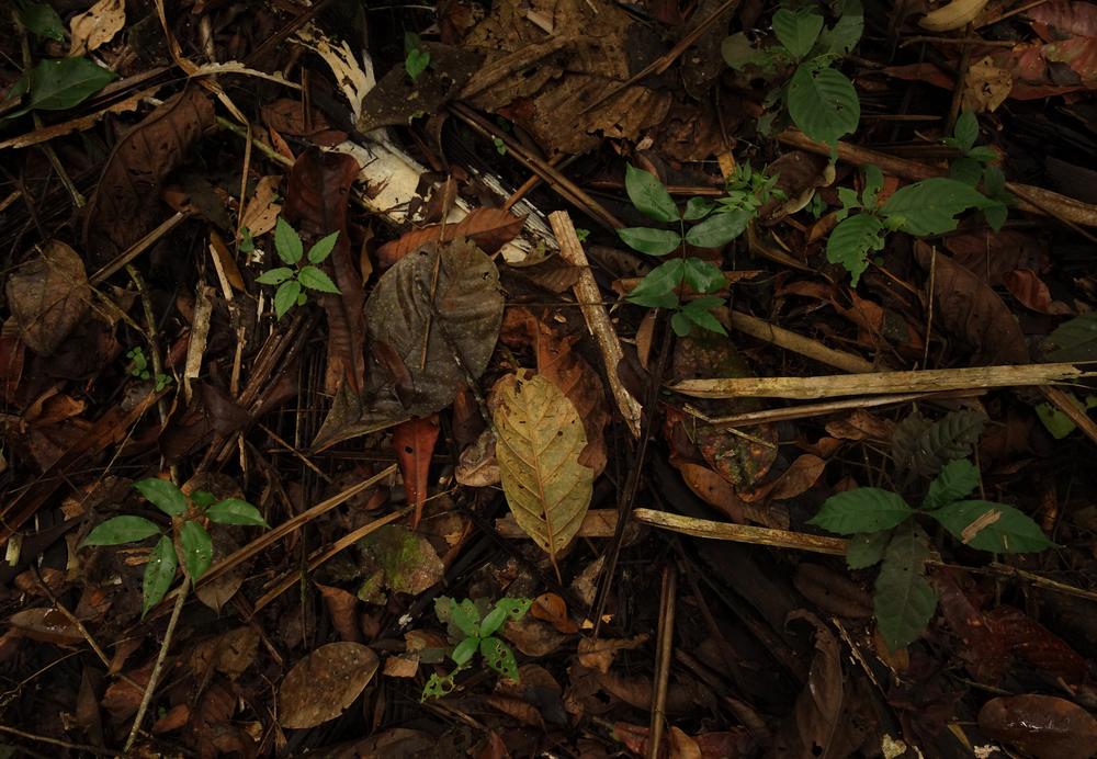 Forest floor, Pacaya-Samiria Reserve