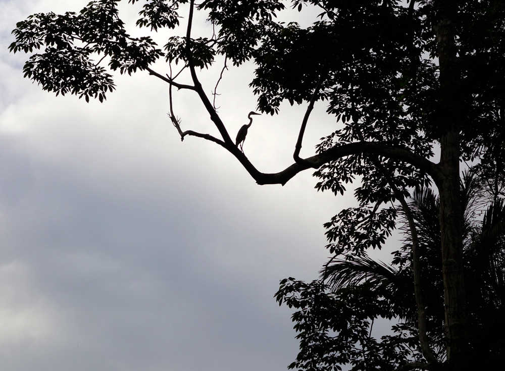Heron perched high in a tree overhanging the Samiria River.
