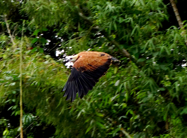 Eagle in flight. The species is referred to by locals as Mama Vieja.