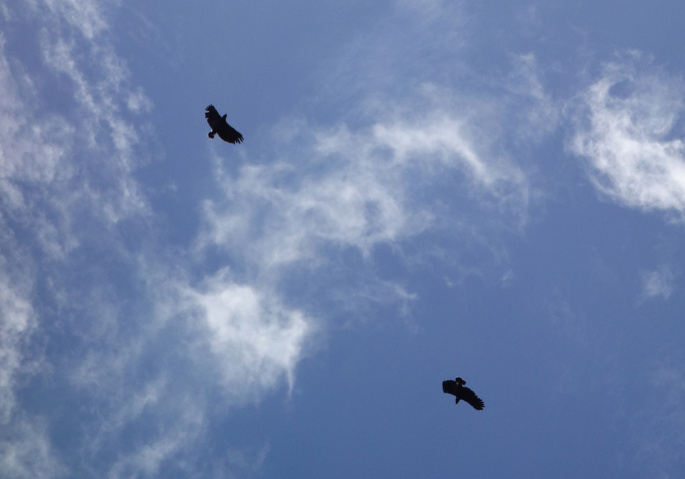 Two hawks circling above the river under the intense midday sun. Pacaya-Samiria Reserve.