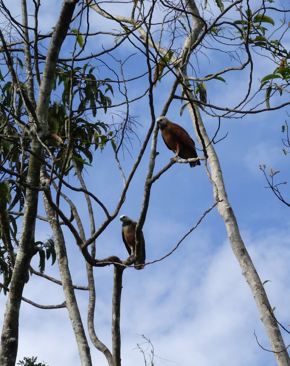 Two eagles. The species is referred to by locals as Mama Vieja.