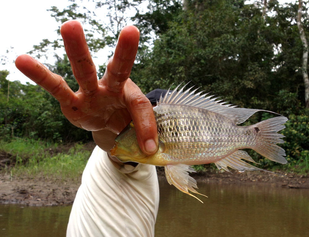 Juan with a fish pulled from the nets. Pacaya-Samiria Reserve