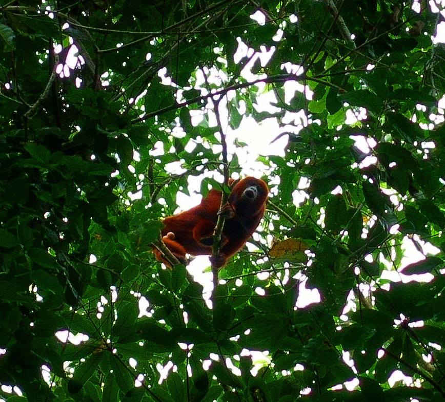 A Howler Monkey high above in the canopy. Pacaya-Samiria Reserve