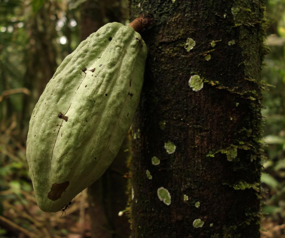 Wild Cacao. Pacaya-Samiria Reserve