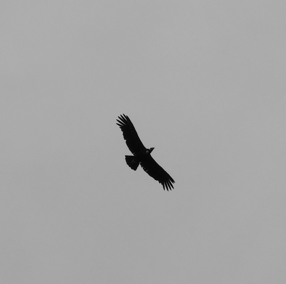 Condor - Chacabuco Valley, Chile