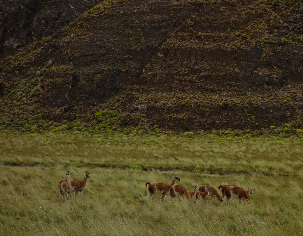 Guanaco - Chacabuco Valley, Chile