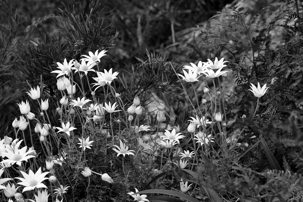 flannel flowers bw 5719.jpg