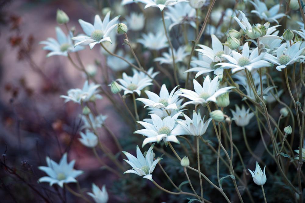 flannel flowers 5695.jpg