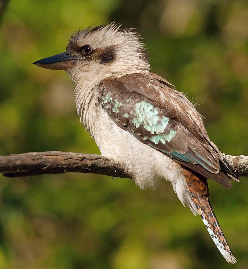 kookaburra photojack5.jpg