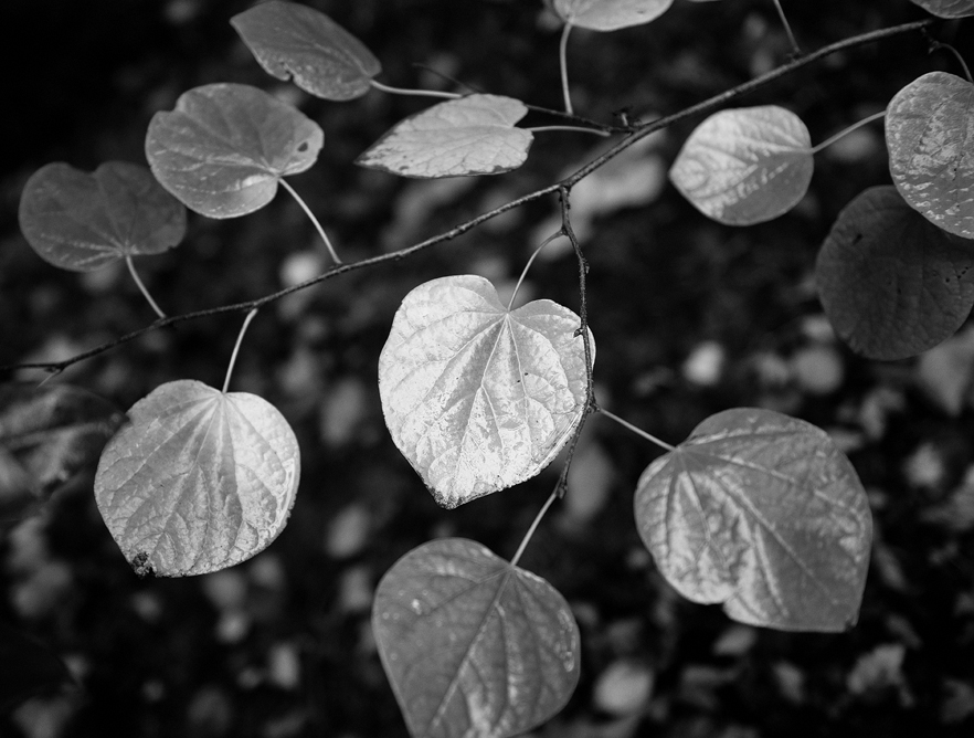 leaves bw 8428.jpg