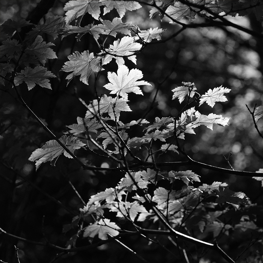 leaves and light 8561.jpg