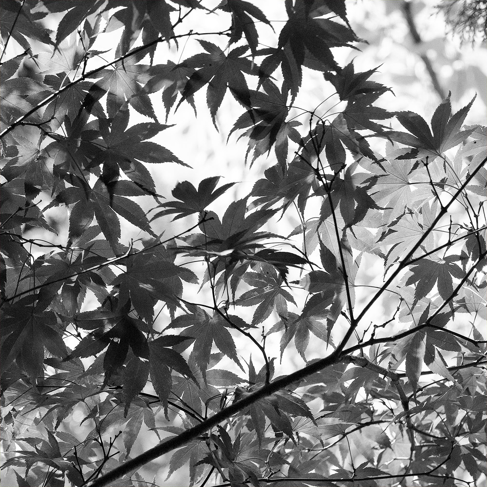 red leaves bw 8573.jpg