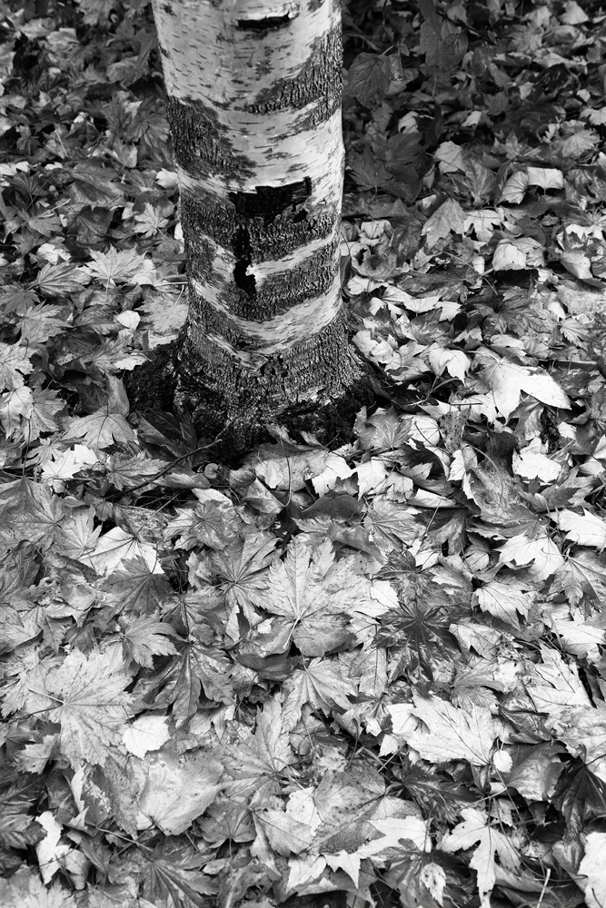 trunk and leaves bw 8476.jpg