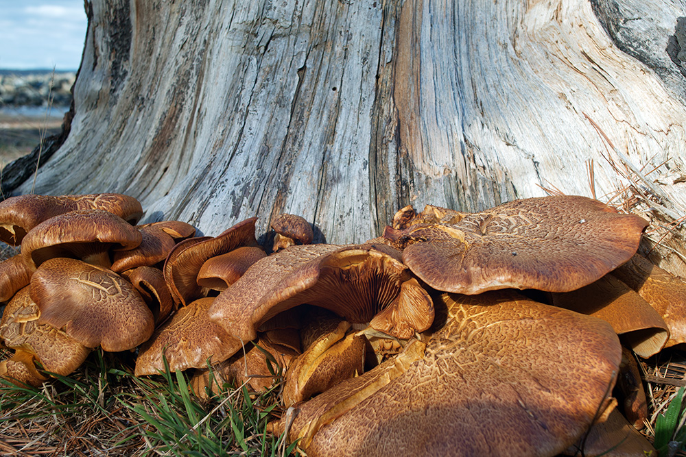 Large mushrooms growing at the base of a tree trunk
