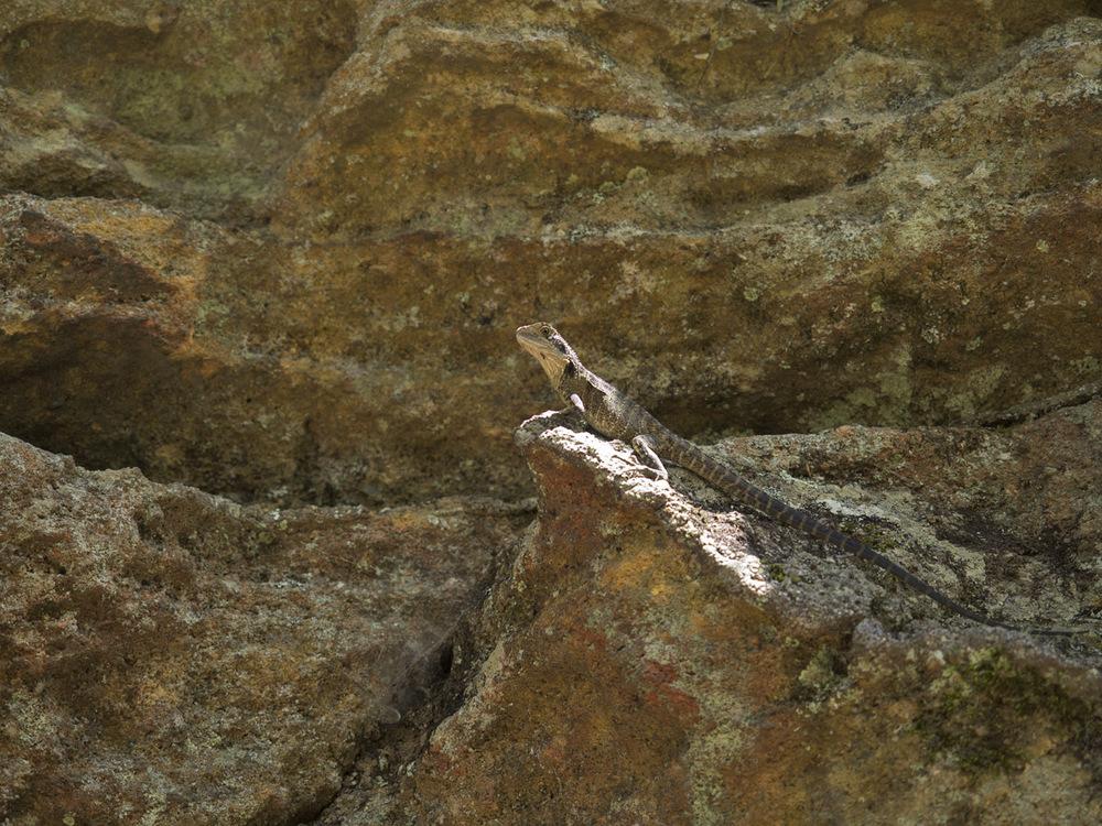 lizard 0187.jpg